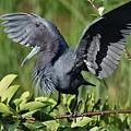 Little Blue Heron by Julie Adair
