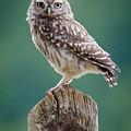 Little Owl by Phil Scarlett