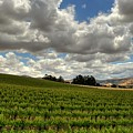 Livermore Vineyard by Douglas Shier
