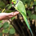 London Parakeet by Matt Malloy