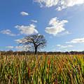 Lone Oak Tree In Wheat Field by Julia Gavin