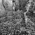 Lone Ranch Wood 4937 by Bob Neiman