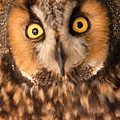 Long Eared Owl by Dennis Hammer
