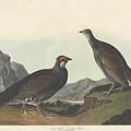 Long-tailed Or Dusky Grous by John James Audubon