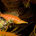 Longnose Hawkfish by Dave Fleetham - Printscapes