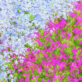 Pink And Purple Phlox by Andrea Kappler