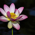 Lotus Bloom by Jerry Gammon