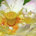 Lotus Blossom by Crystal Garner