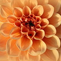 Lovely In Peaches And Cream - Dahlia by Dora Sofia Caputo Photographic Design and Fine Art