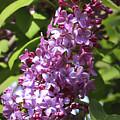 Lovely Lilacs by Carol Groenen