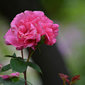 Lovely Pink Rose by Ruth Housley
