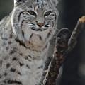Lynx Perched In A Tree by DejaVu Designs