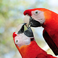 Macaws by Steven Sparks