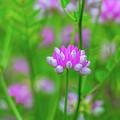 Magenta Wildflower by Alex Zabo