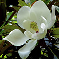 Magnificent Southern Magnolia Blossom by D Hackett