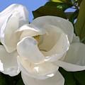 Magnolia by Ofelia  Arreola