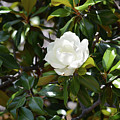 Magnolia by Ruth Housley