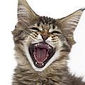 A Maine Coon Kitten by Jean-Michel Labat