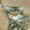 Maine Coon by Michael Munster