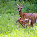 Maine White Tailed Deer by Sharon Fiedler