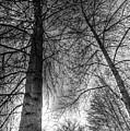 Majestic Trees by David Pyatt