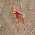 Male Northern Cardinal In Winter by J McCombie
