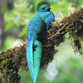 Male Quetzal by Wes Hanson