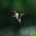 Male Ruby Throated Hummingbird by Brenda Jacobs