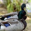 Mallard by Clayton Bruster