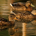 Mallards Swimming In The Water At Magic Hour by Angela Rath