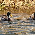 Mallards On Pond by John Ohm