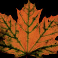 Maple Leaf by Valencia Photography