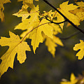 Maple Leafs Of Yellow by Chad Davis