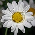 Marguerite Daisy by Jouko Lehto