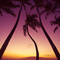 Maui Palms by Ron Dahlquist - Printscapes
