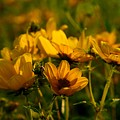 Maximilian Sunflowers by Kathryn Meyer