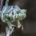 Mellers Chameleon Portrait by William Bitman