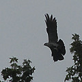 Mississippi Kite In Flight by Donna Brown