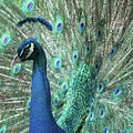Mister Peacock  by Sabrina L Ryan