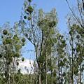 Mistletoe On Trees In Coswig by Chani Demuijlder