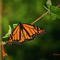 Monarch Butterfly by Edward Peterson
