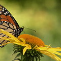 Monarch Butterfly by Joanne Young