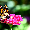Monarch Butterfly On Pink Flower by Reva Steenbergen