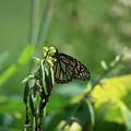 Monarch by Linda Kerkau