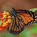 Monarch On Milkweed by Carol Bradley