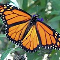 Monarch - Perfection by Cindy Treger
