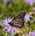 Monarch by Photography by Tiwago
