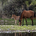 Mother And Foal Wild Salt River Horses by Dave Dilli