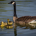 Mother Goose by Ray Congrove