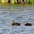 Mottled Ducks by Dwight Eddington